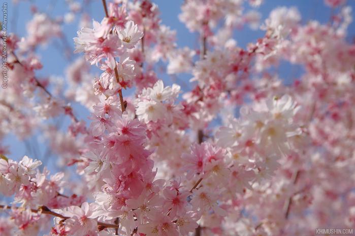 А а юге Японии уже начинает цвести сакура... 10
