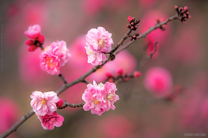 А а юге Японии уже начинает цвести сакура... 11
