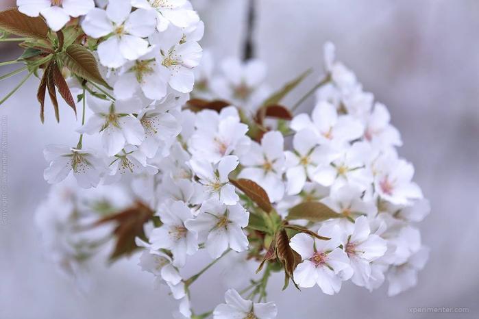 А а юге Японии уже начинает цвести сакура... 12