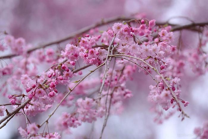 А а юге Японии уже начинает цвести сакура... 13