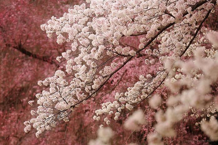 А а юге Японии уже начинает цвести сакура... 15
