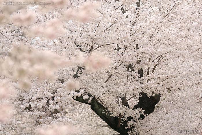 А а юге Японии уже начинает цвести сакура... 16