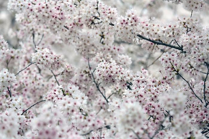 А а юге Японии уже начинает цвести сакура... 18