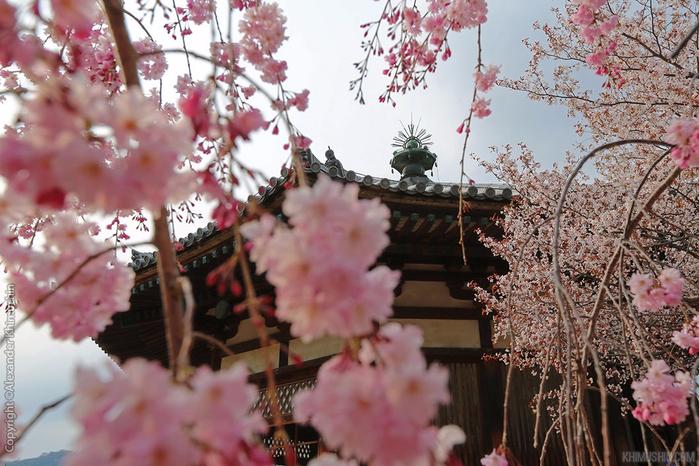 А а юге Японии уже начинает цвести сакура... 19