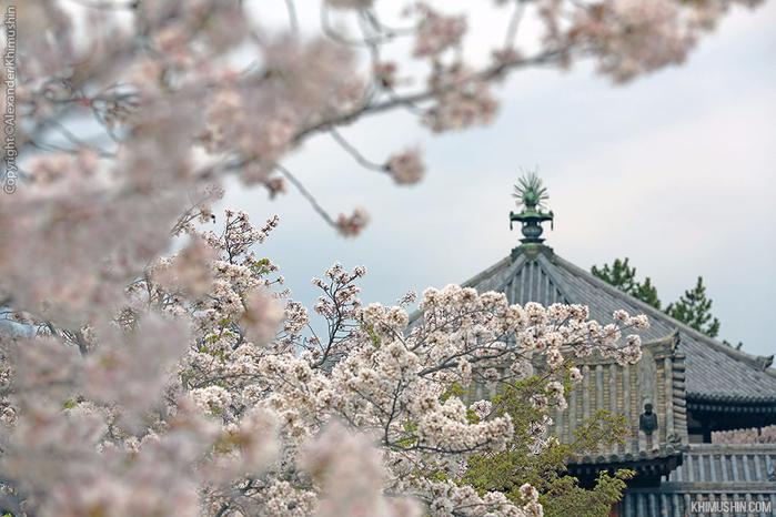 А а юге Японии уже начинает цвести сакура... 22