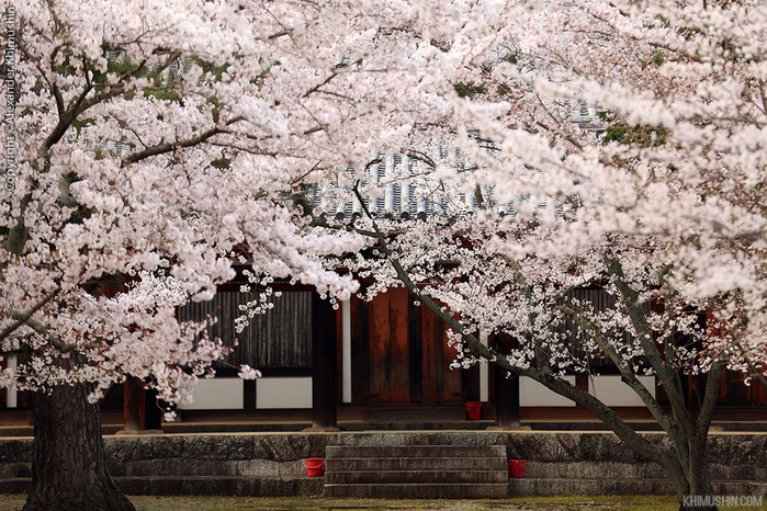 А а юге Японии уже начинает цвести сакура... 23