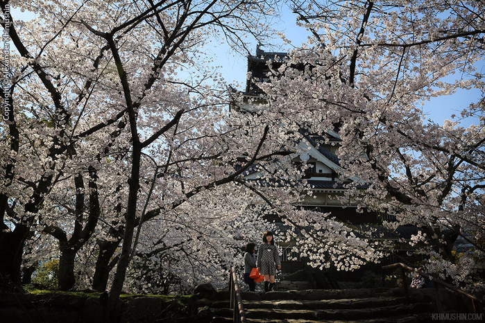 А а юге Японии уже начинает цвести сакура... 26