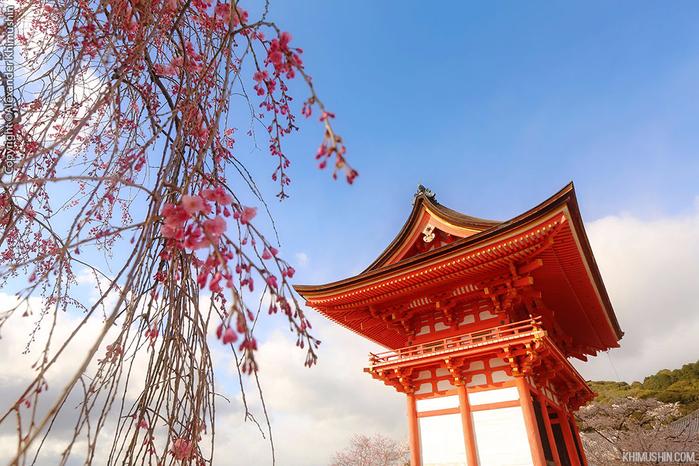 А а юге Японии уже начинает цвести сакура... 28