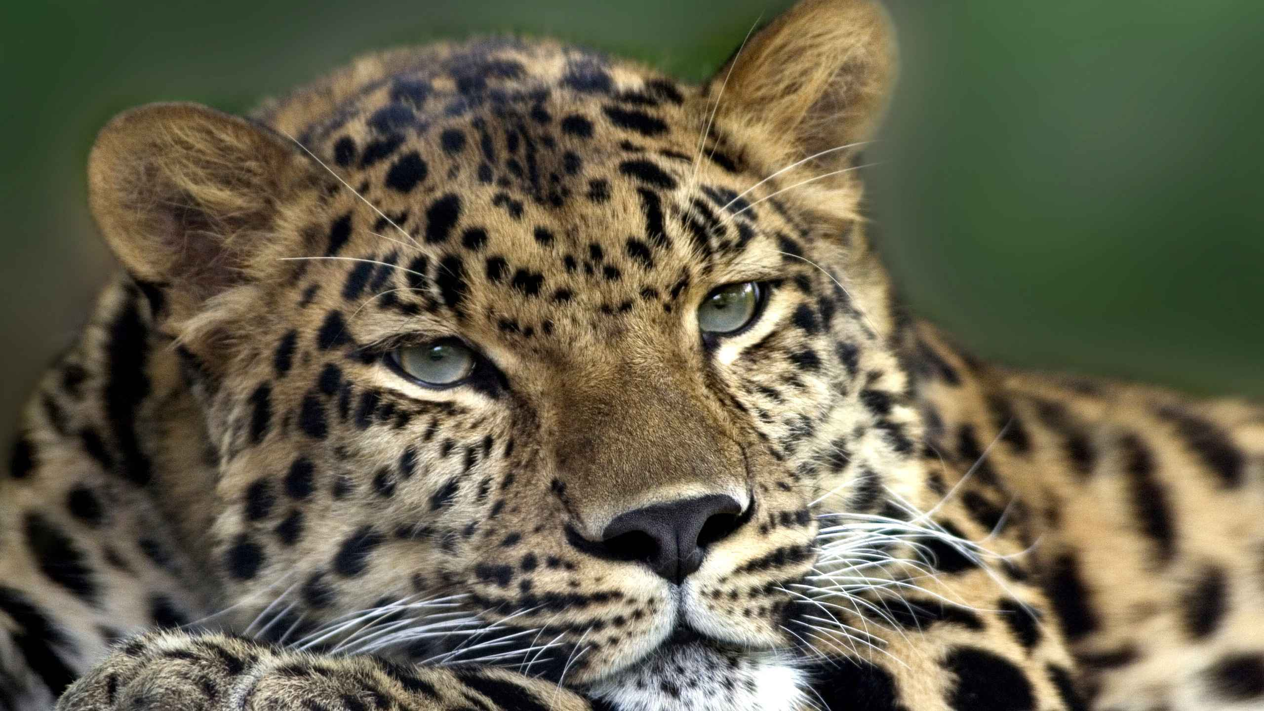 017 леопард голова 02.jpg