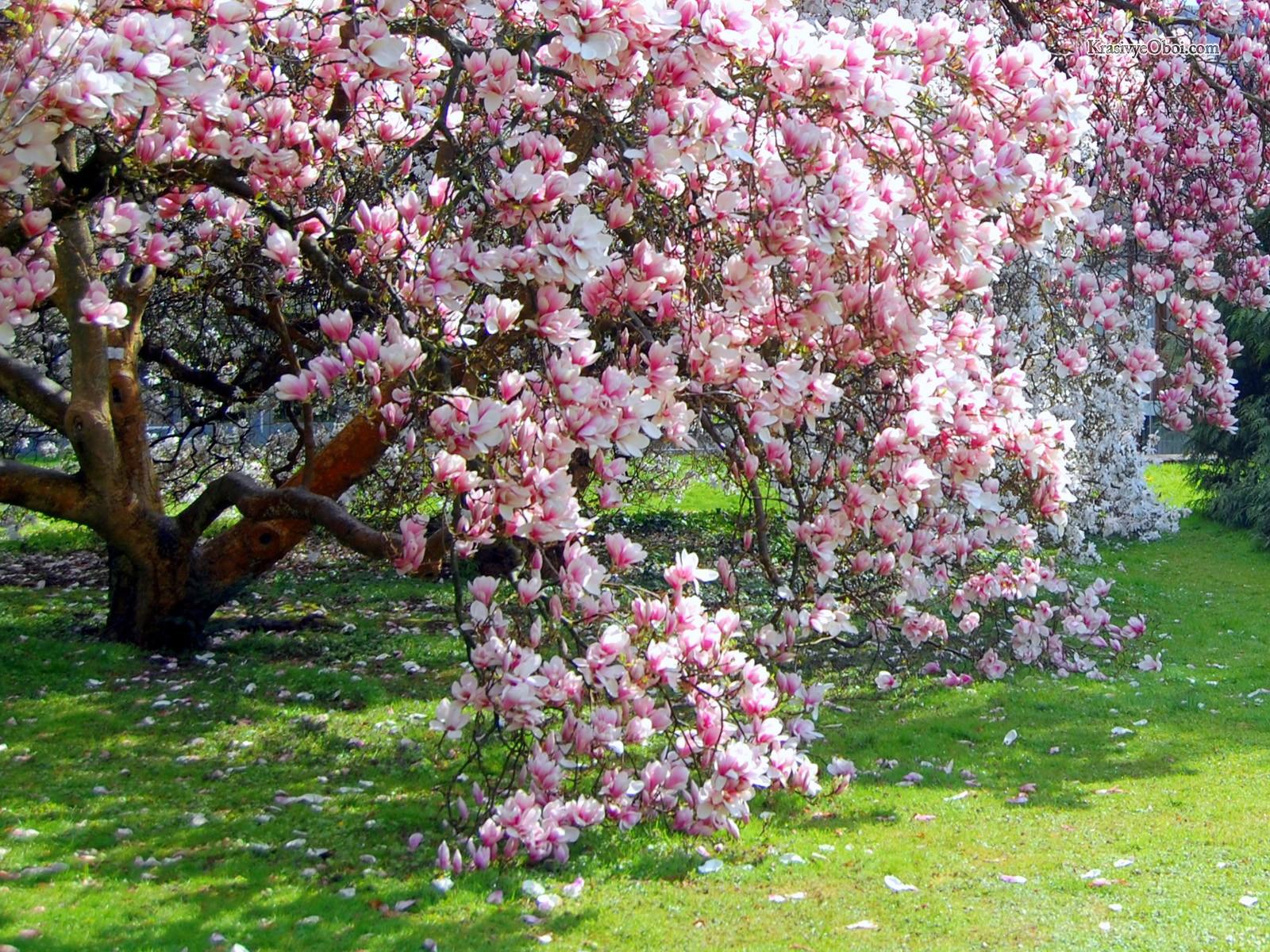 Дерево с большим розовым цветок