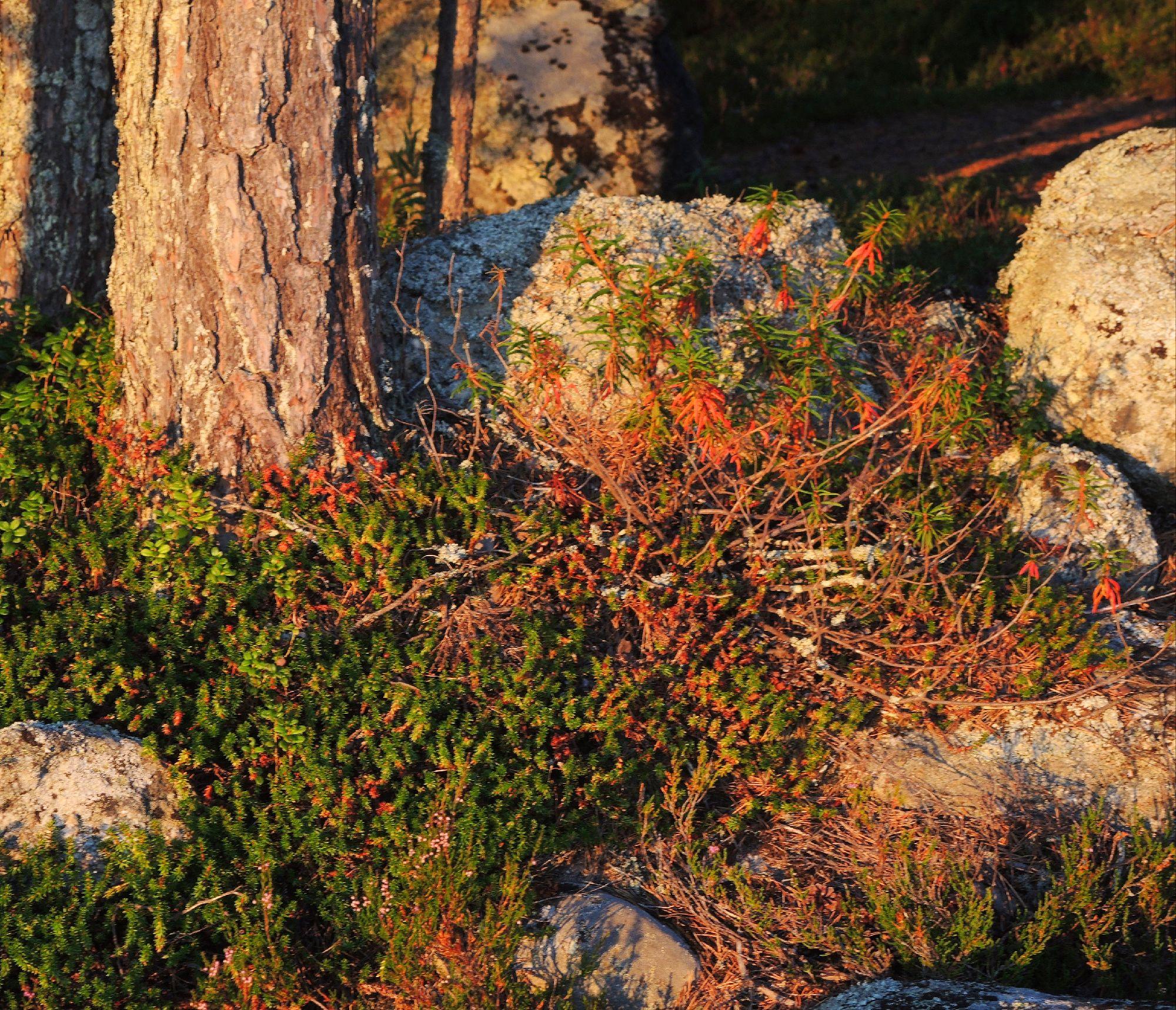 Просто - камни, покрытые мхом. Просто - багульник в лучах закатного солнца