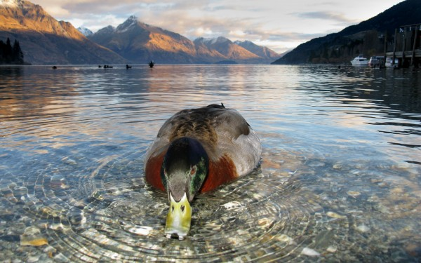 duck on Lake Wakatipu