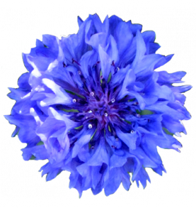 blue-cornflower-head