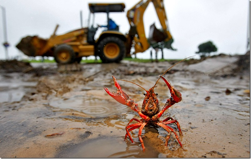 A small crayfish was washed out onto the sidewalk along Pacific Coast Highway in downtown Laguna Beach, where heavy rains overnight maxed out flood control channels  spilling debris and mud into the downtown area.