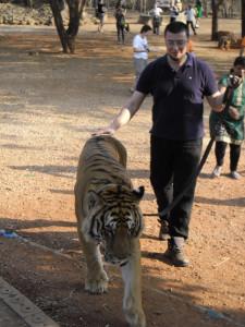 Выгуливаю тигра в Tiger Temple