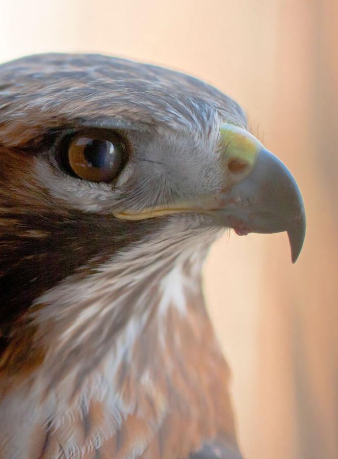 falcon2a.jpg