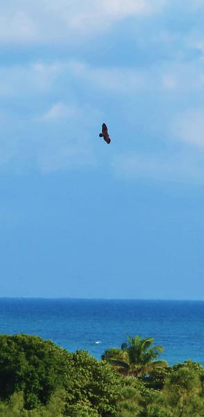 eagle_tropics