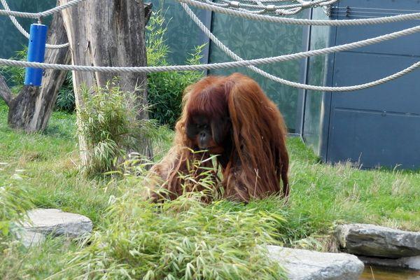 130923_06shoenbrunn_orangutan