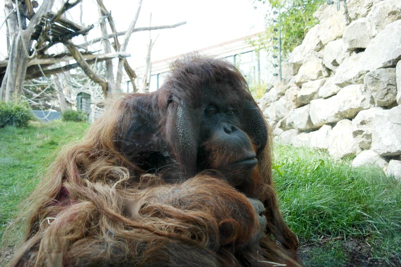 130923_07shoenbrunn_orangutan