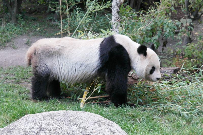 130923_15shoenbrunn_panda