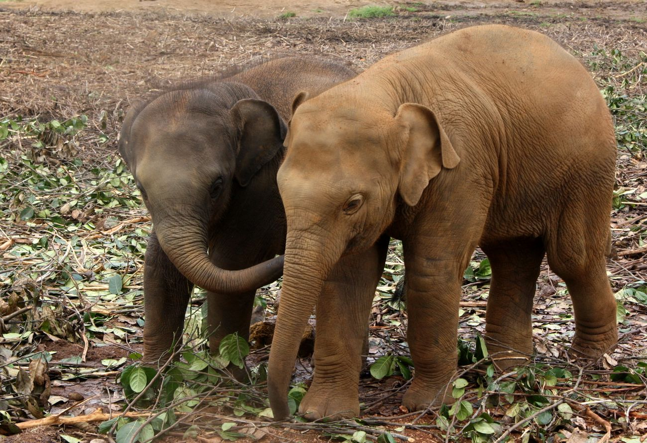 Слонята в Пиннавелле