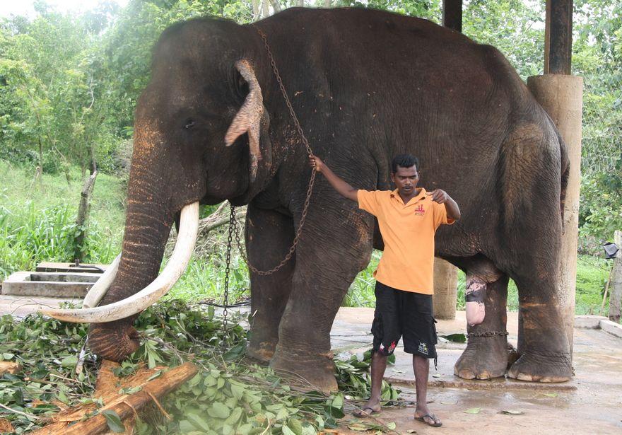 Самец с бивнями и всем, что полагается в Pinnawala Elephant Orphanage, Шри-Ланка