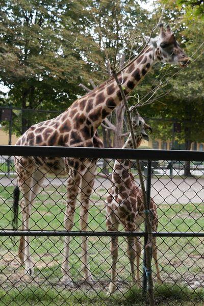 130923_02shoenbrunn_giraffes