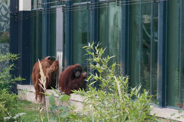 130923_04shoenbrunn_orangutan