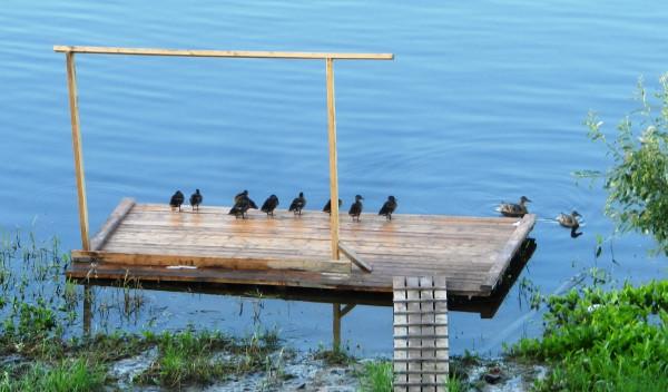 Утки на плоту