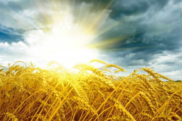 bigstock-Golden-Sunset-Over-Wheat-Field-31584071.jpg