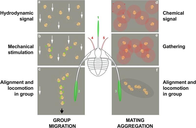 """4. Вероятнее всего, эти трилобиты координировали свои действие механически и при помощи химических сигналов. """"Усы"""" трилобитов играли роль датчиков. Источник https://www.nature.com/articles/s41598-019-51012-3/figures/5"""