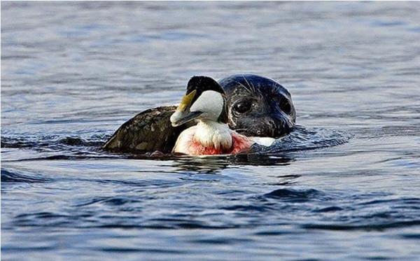 тюлень и гага