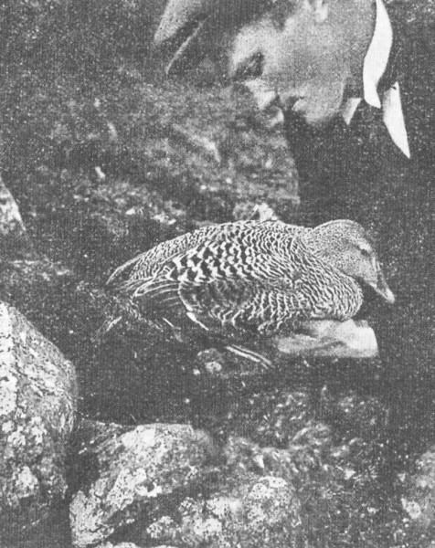 Æðey, 1923