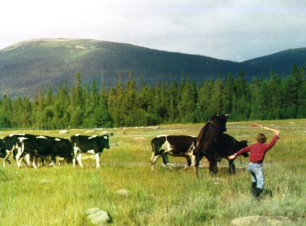 коровы_1995