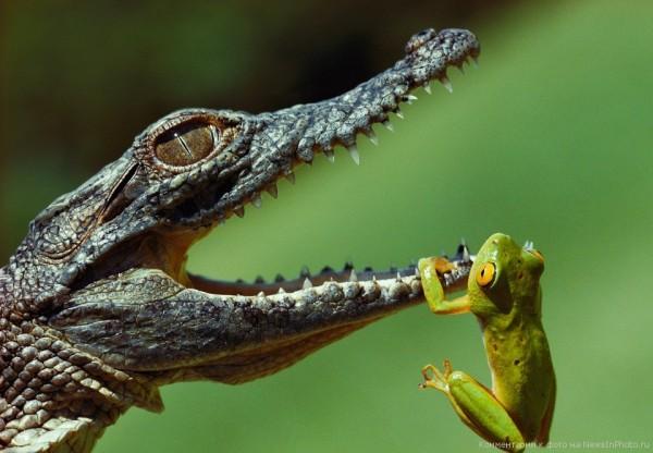 Крокодил и лягушка