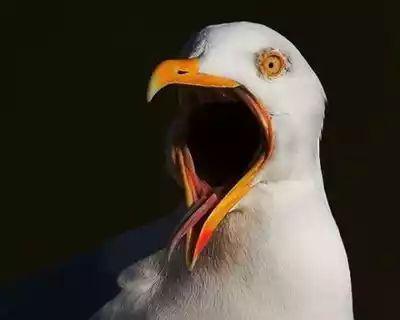 Чайка-клуша