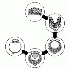 Схема эволюции глаза