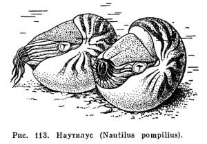 paleo-pic-nautilus-elektroz-2-da