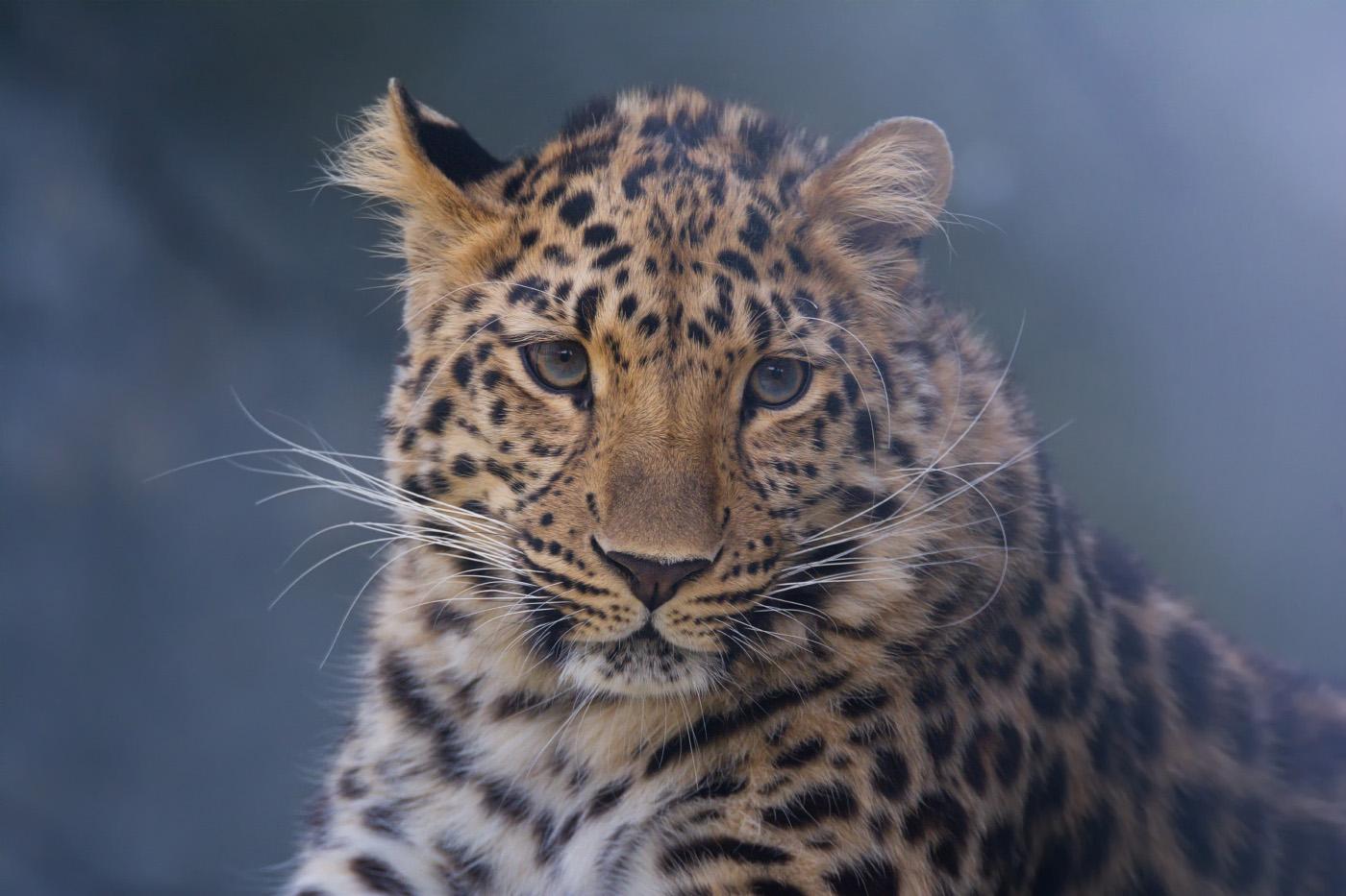 Дальневосточный леопард. Последняя сотня.