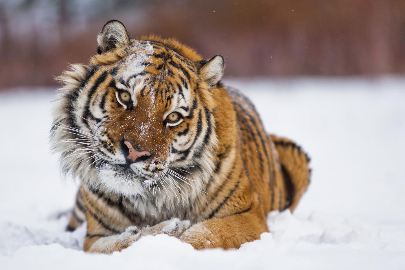 Открытку ветерану, картинки львы и тигры