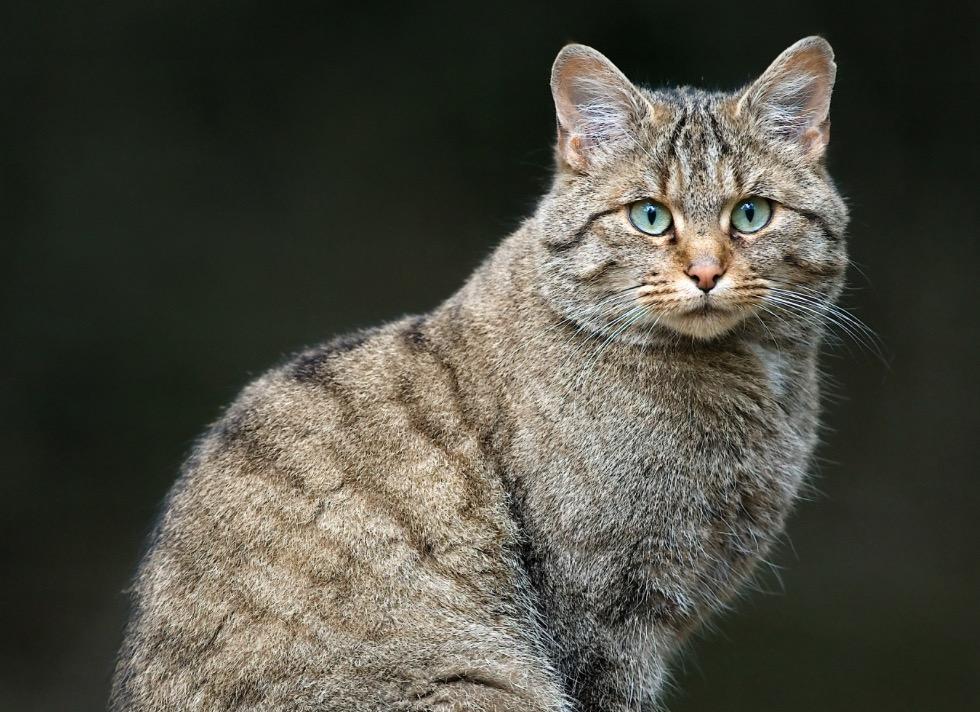 10-Felis silvestris.JPEG