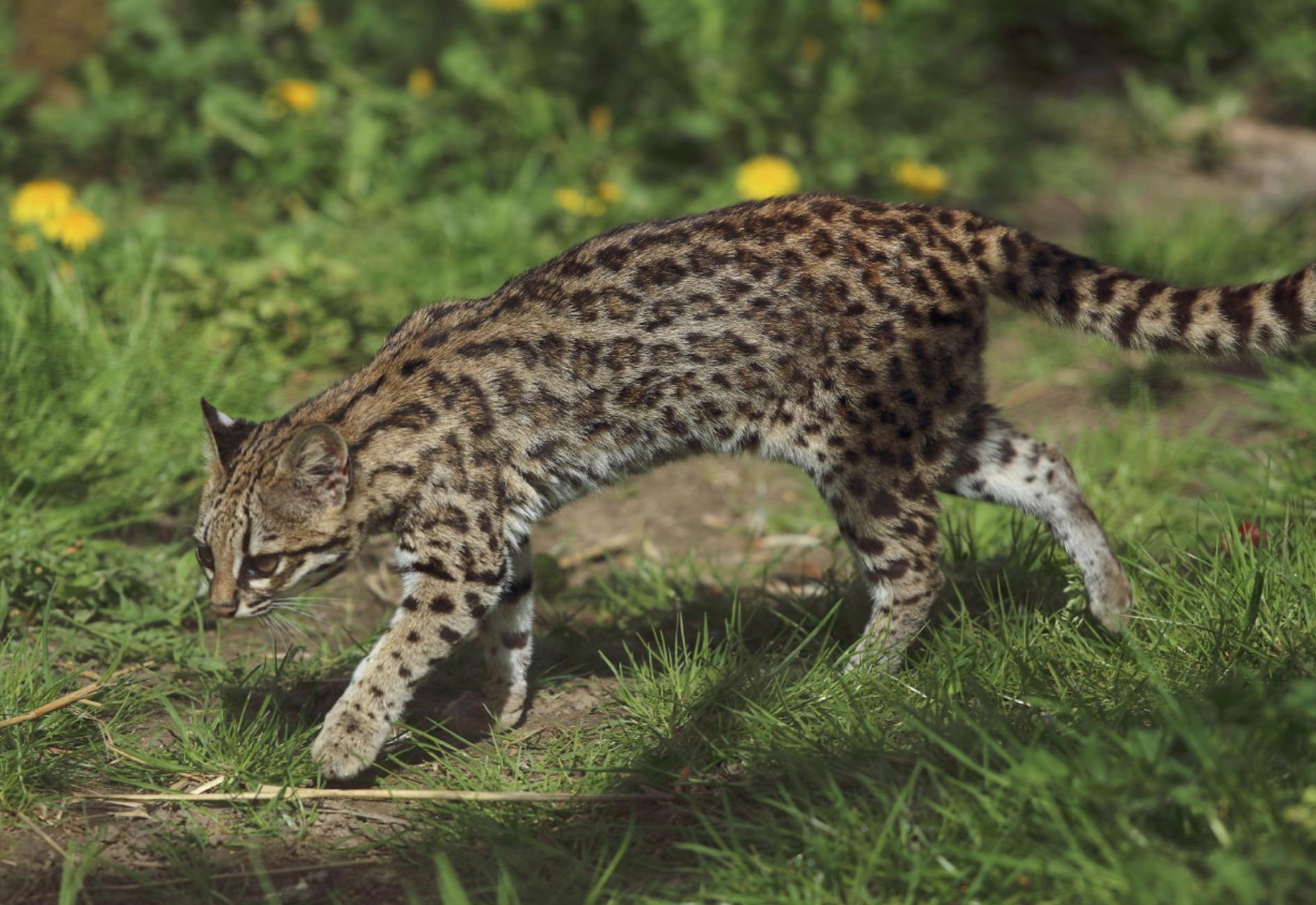 18-Leopardus tigrinus.JPEG