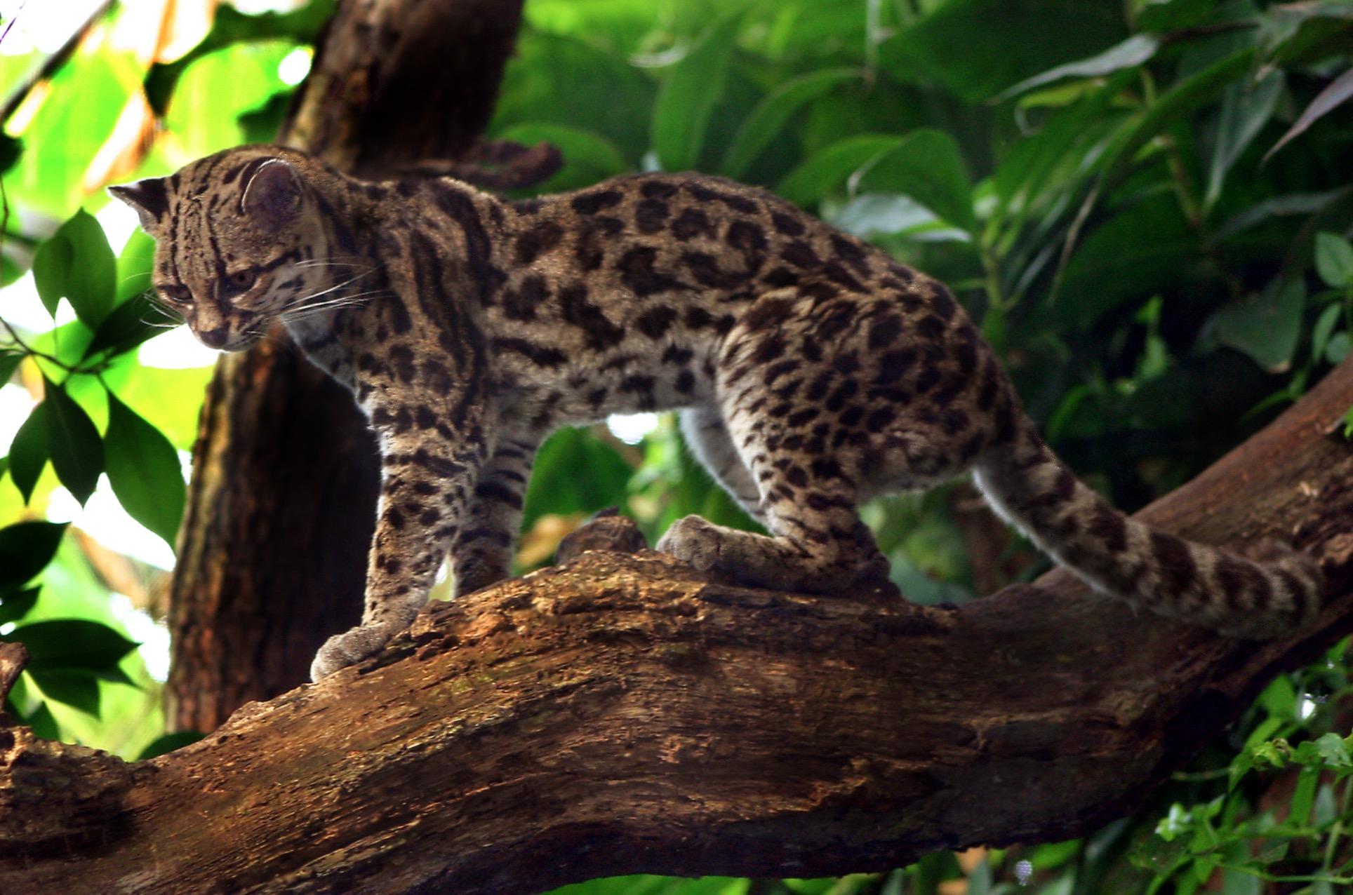 19-Leopardus wiedii.JPEG