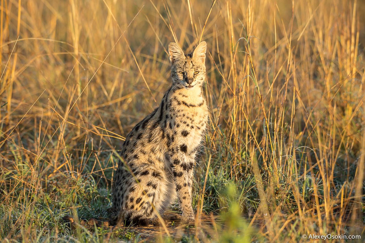 20-serval.jpg
