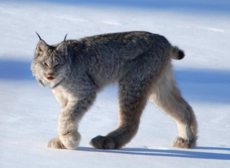 21-Lynx canadensis.JPEG