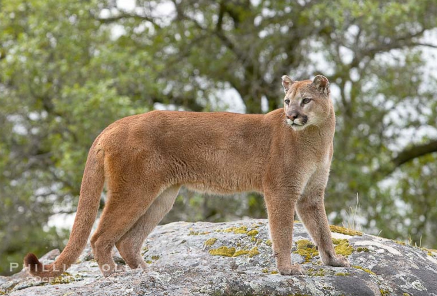 33-Puma concolor.JPEG