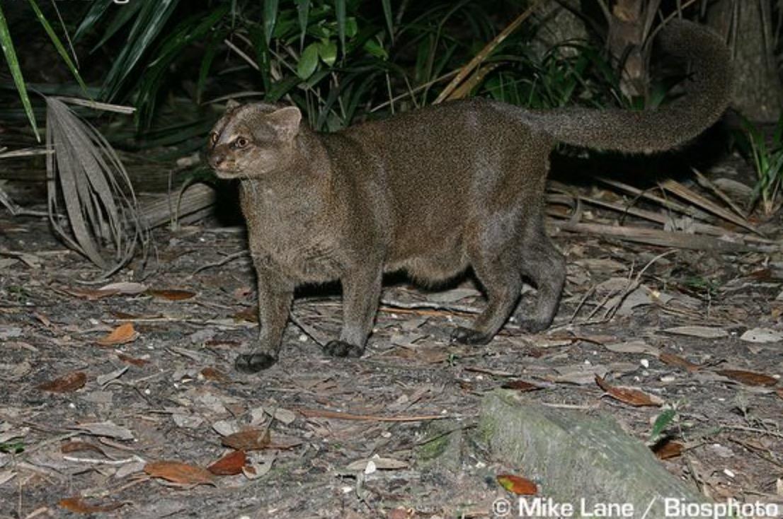34-Puma yaguaroundi.JPEG