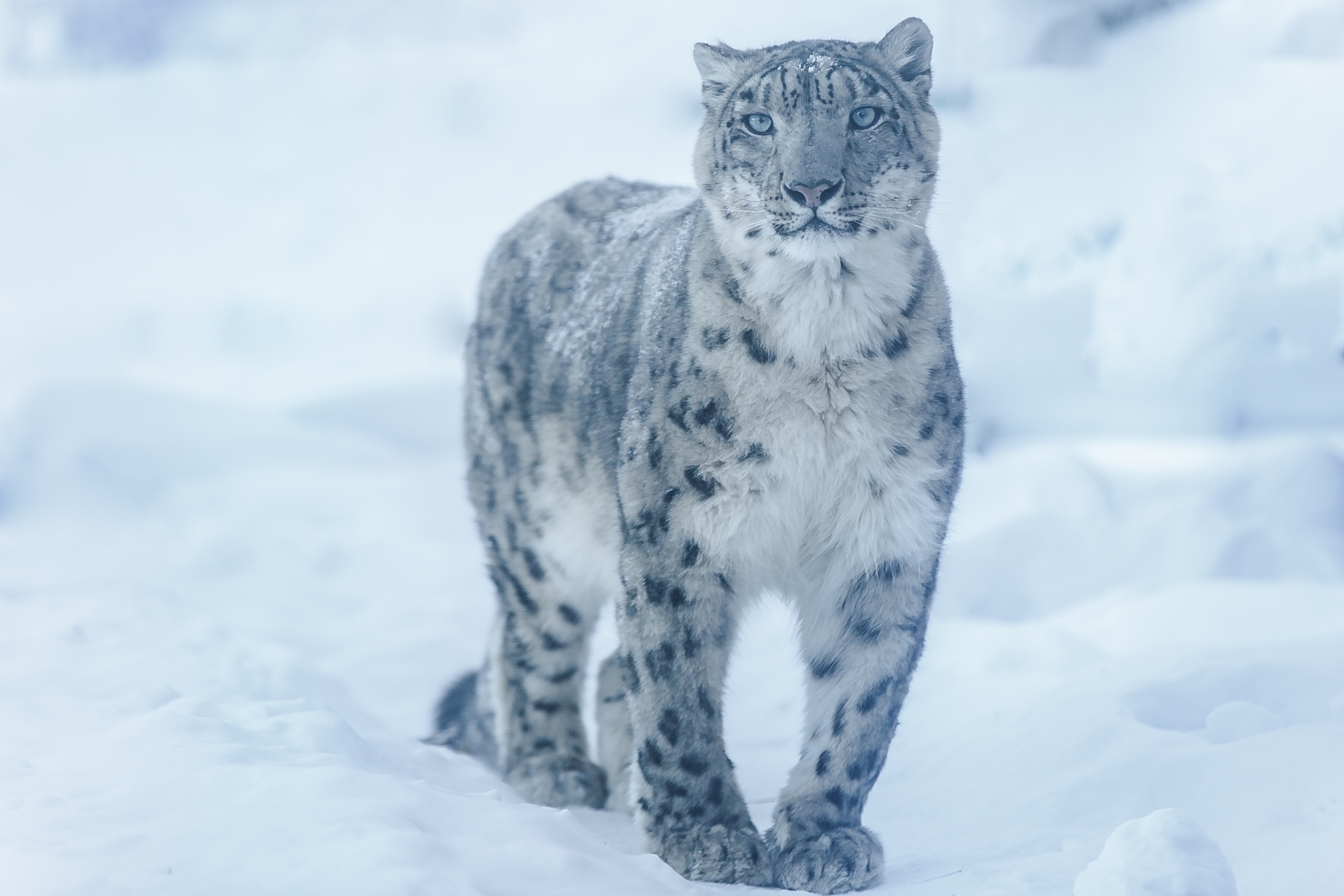 41-Panthera uncia.jpg