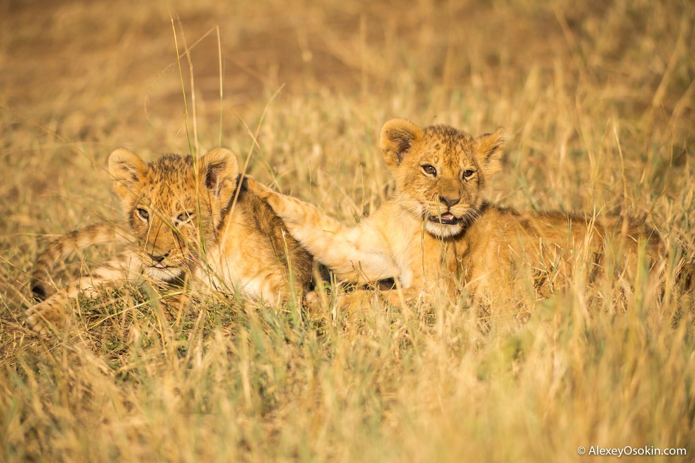 lion_cub_small_lake, mar.2016_-3.jpg