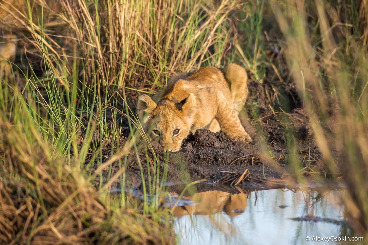lion_cub_small_lake, mar.2016_-27.jpg